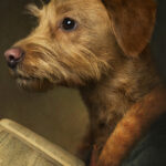 miniature-labradoodle-Maid-Wenefreda-portrait-close-up