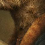 miniature-labradoodle-Maid-Wenefreda-portrait-close-up2